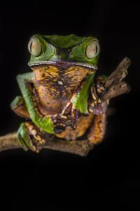 Portrait of a Monkey Tree Frog, Phyllomedusa Vaillantii, Resting on a Branch by Javier Aznar