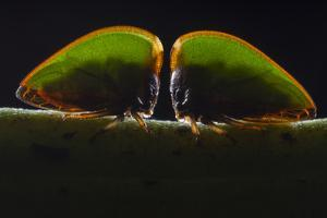 Portrait of Two Treehoppers, Amastris Species, Feeding on the Sap of a Plant by Javier Aznar