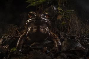 Smoky Jungle Frog, Leptodactylus Pentadactylus, Sitting on the Jungle Floor by Javier Aznar