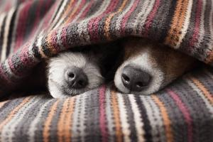 Couple of Dogs in Love Sleeping Together under the Blanket in Bed by Javier Brosch