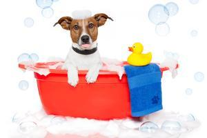 Dog Taking A Bath in A Colorful Bathtub with A Plastic Duck by Javier Brosch