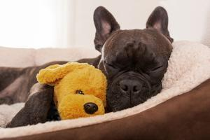 French Bulldog Dog Having a Sleeping and Relaxing a Siesta in Living Room, with Doggy Teddy Bear by Javier Brosch