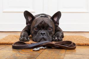 French Bulldog Dog Waiting and Begging to Go for a Walk with Owner , Sitting or Lying on Doormat by Javier Brosch