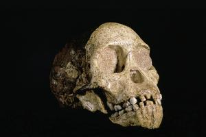 Tuang Child Skull by Javier Trueba