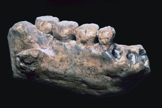 Jaw and teeth of Java Man-Unknown-Giclee Print