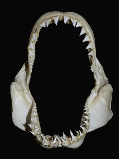 Jaws of a Great White Shark (Carcharodon Carcharias)-Andy Murch-Photographic Print