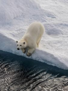 Portrait of a Polar Bear, Ursus Maritimus, on an Ice Floe at the Water's Edge by Jay Dickman