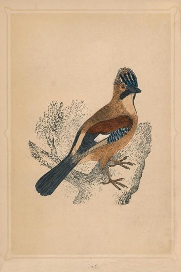 'Jay', (Garrulus glandarius), c1850, (1856)-Unknown-Giclee Print