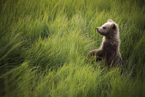 A Cub Stands When Startled By A River Otter Near The Coast Of Lake Clark National Park In Alaska by Jay Goodrich