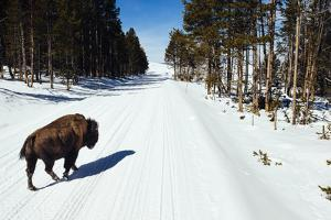 Clients Watch Bison In The Hayden Valley Of Yellowstone National Park In Winter by Jay Goodrich