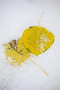 Frost And Snow Covered Aspen Leaves On The Ground In Wyoming At The Beginning Of Winter by Jay Goodrich