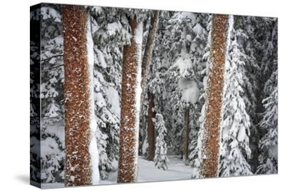 Heavy Snow Clings To The Trees Of The Forest In Vail Colorado