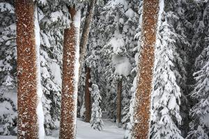 Heavy Snow Clings To The Trees Of The Forest In Vail Colorado by Jay Goodrich