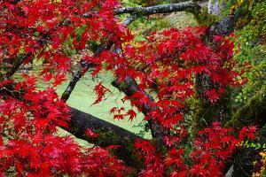 Japanese Maple In Garden In The Seattle Arboretum by Jay Goodrich
