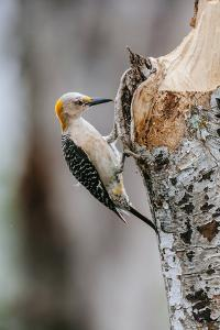 Perching Flicker On A South Texas Ranch During Wet Spring Weather by Jay Goodrich
