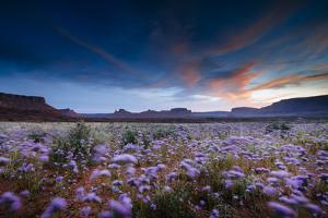 Purple Flowers Bloom, Early Spring, Desert Eco-System Surrounding Fisher Towers Near Moab, Utah by Jay Goodrich