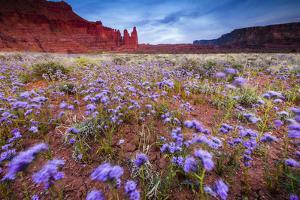 Purple Flowers Bloom, Early Spring, The Desert Eco-System Surrounding Fisher Towers Near Moab, Utah by Jay Goodrich