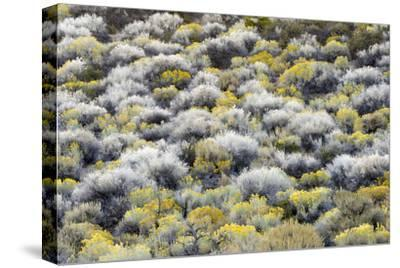 Rabbit Brush And Silver Sage Bloom In Late Season Color Along The Shores Of Mono Lake
