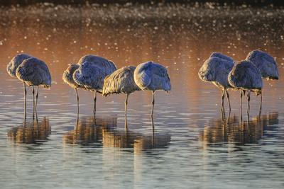 Sandhill Cranes Stand Sleeping In Waters Of Bosque Del Apache National Wildlife Refuge, New Mexico
