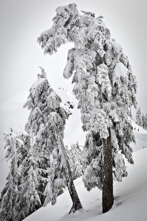 Skiers & Snowboarders, Framed By Snow Encrusted Trees, Shuksan Arm, Mt Baker Ski Area Backcountry