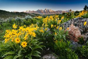 Sun Rises Over Teton Range, Grand Teton NP, Vivid Yellow Arrowleaf Balasmroot Dominating Scene by Jay Goodrich