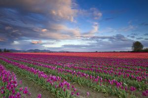 The Tulips Of The Skagit Valley Are In Full Bloom During An Amazing Spring Sunset by Jay Goodrich