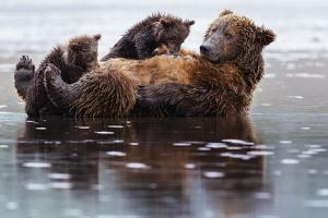 Two Cubs On And Next To Their Mother While Claming On The Coast Of Lake Clark NP In Alaska by Jay Goodrich