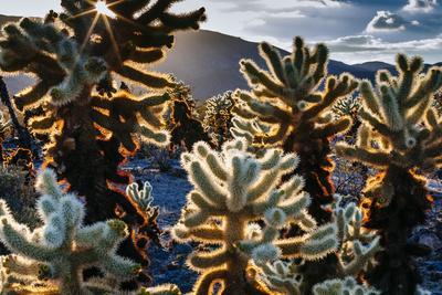United States, California, Joshua Tree National Park, Cholla Cactus Garden