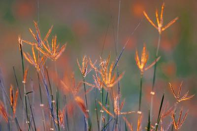 Windmill Grass Is Backlit At Sunset In Spring On A South Texas Ranch