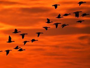 Flying Birds Silhouette, Cape May, New Jersey, USA by Jay O'brien