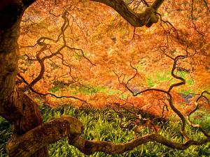 Japanese Maple Trees in Winterthur Gardens, Wilmington, Delaware, Usa by Jay O'brien