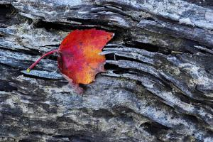 USA, New York, Adirondack Mountains. Leaf on Dark Rock by Jay O'brien