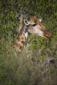 Africa, Botswana, Moremi Game Reserve. Giraffe Close-Up by Jaynes Gallery