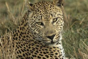 Africa, Botswana, Savute Game Reserve. Portrait of Resting Adult Leopard by Jaynes Gallery