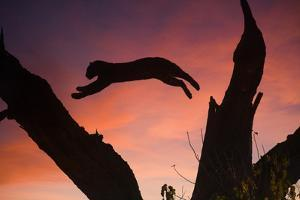 Africa, Botswana, Savuti Game Reserve. Leopard Leaping from Branch to Branch at Sunset by Jaynes Gallery