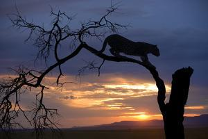 Africa, Botswana, Savuti Game Reserve. Leopard on Branch at Sunset by Jaynes Gallery