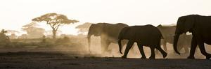 Africa, Kenya, Amboseli National Park. Backlit elephants on the march. by Jaynes Gallery