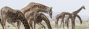 Africa, Kenya, Amboseli National Park. Close-up of giraffes drinking. by Jaynes Gallery