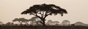 Africa, Kenya, Maasai Mara National Reserve. Silhouette of umbrella thorn acacia tree at sunset. by Jaynes Gallery