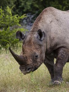 Africa, Namibia, Etosha National Park. Head and Shoulders of Rhinoceros by Jaynes Gallery