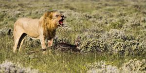 Africa, Namibia, Etosha National Park. Lion Roars over Carcass of Wildebeest by Jaynes Gallery