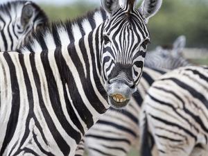 Africa, Namibia, Etosha National Park. Zebra Looking at Camera by Jaynes Gallery