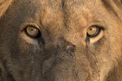 Africa, Namibia. Male Lion, Namibia by Jaynes Gallery