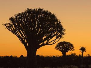 Africa, Namibia. Quiver Trees at Twilight by Jaynes Gallery