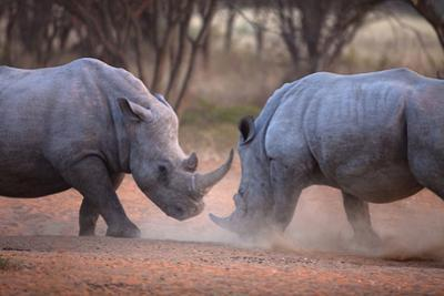 Africa, Namibia. White Rhinos Fighting by Jaynes Gallery