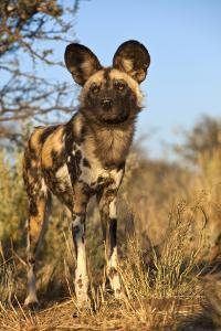 Africa, Namibia. Wild Dog Close-Up by Jaynes Gallery