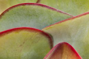 Africa, Namibia, Windhoek. Close Up of Succulent Leaves by Jaynes Gallery