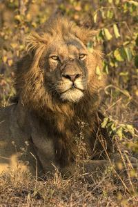 Africa, South Africa. Male Lion Resting by Jaynes Gallery