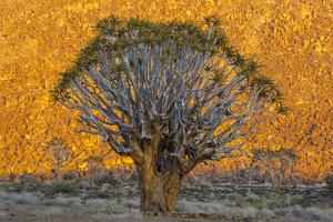 Africa, South Africa, Richtersveld National Park. Quiver Trees Against Hillside by Jaynes Gallery