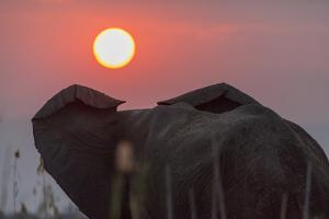 Africa, Zambia. Close-Up of Elephant Rear at Sunset by Jaynes Gallery